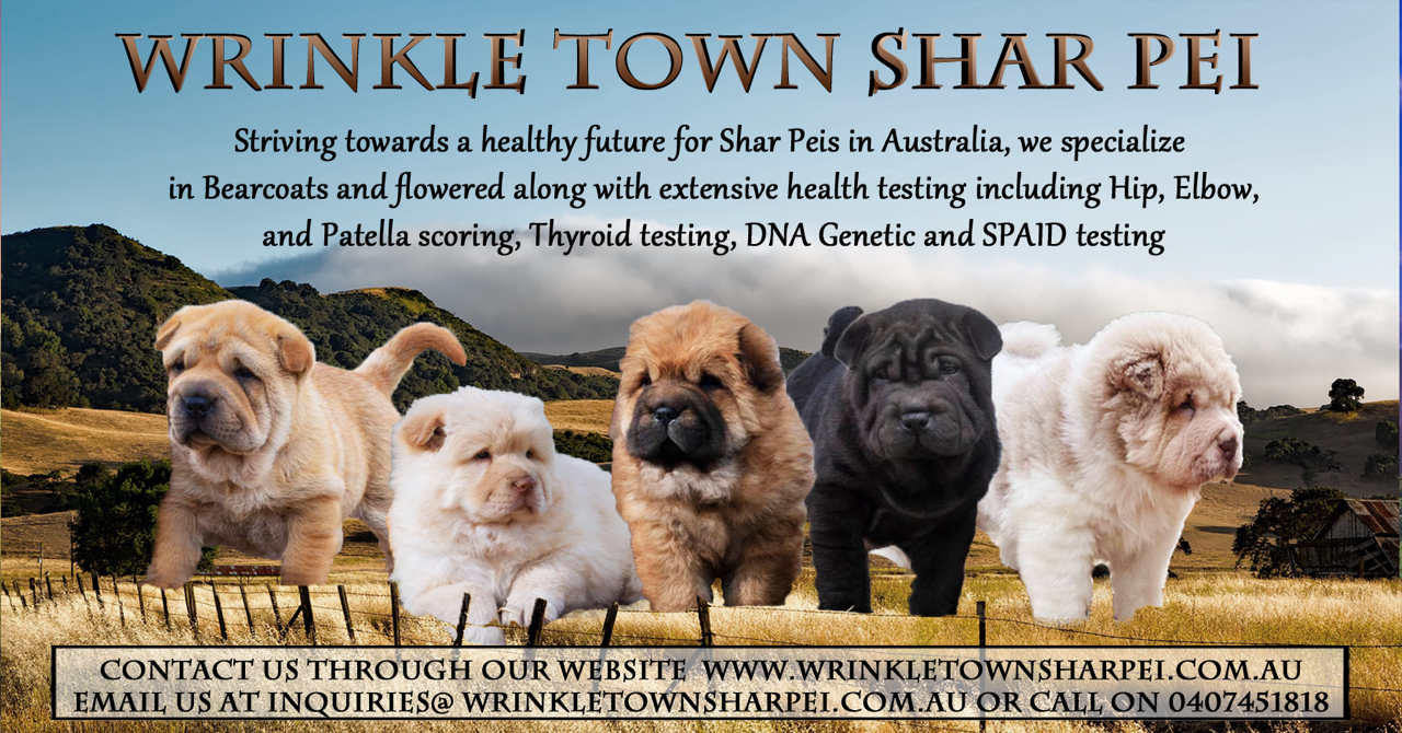 Wrinkle Town Shar Pei Queensland